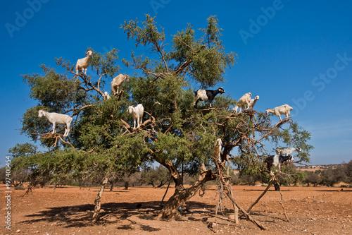 Heard of goats climbed on an argan tree on a way to Essaouira, Morocco, North Af Canvas Print