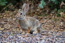An Alert Rabbit Sits Ready To Spring Away.