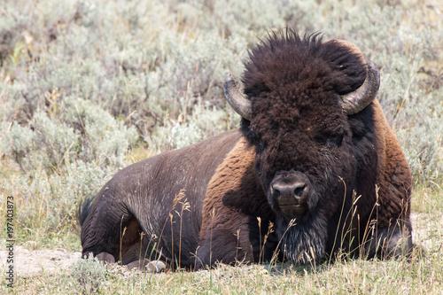 Foto op Canvas Bison Bison 4