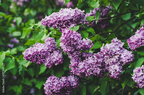 Recess Fitting Lilac Branch of lilac flowers with green leaves, floral natural vintage hipster background