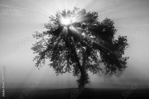 Foto op Aluminium Olijfboom Single olive tree in the beautiful sunny fog at sunrise, natural background with sun rays through the mist