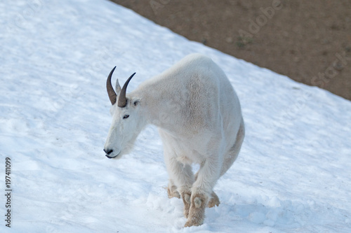 Male Billy Mountain Goat on snow on Hurricane Ridge in Olympic National Park in Poster