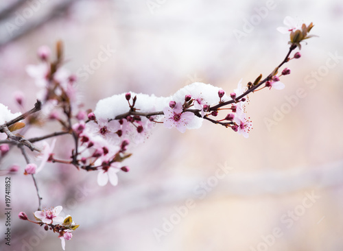Fruit tree blossom covered with snow