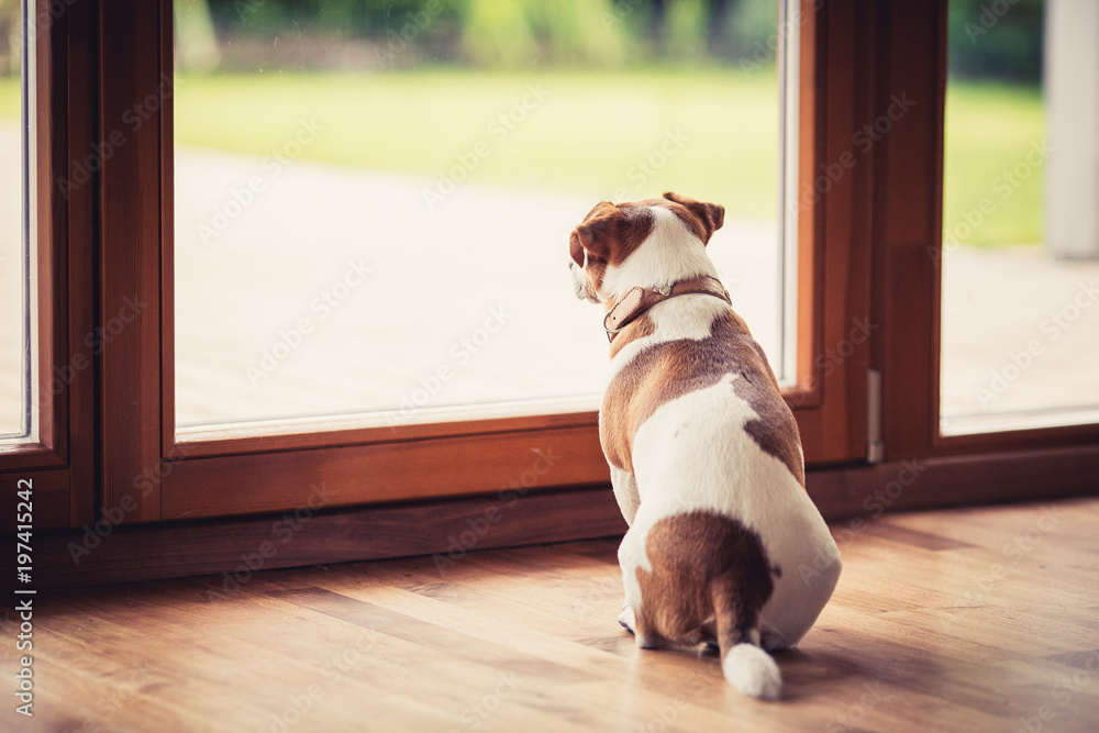 Fototapety, obrazy: A Jack Russell Terrier, looking out through the window
