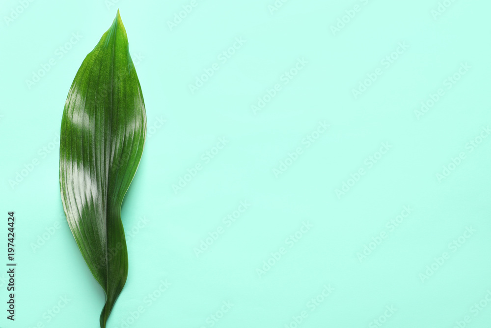 Fototapety, obrazy: Beautiful tropical Aspidistra leaf on color background, top view