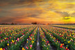 Sunset at Tulip Fields in Bloom in Oregon Spring season