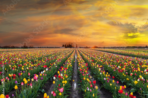 Tuinposter Tulp Sunset at Tulip Fields in Bloom in Oregon Spring season