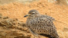 Spotted Thick Knee In A Natura...