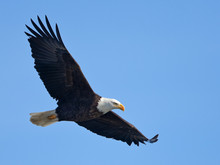 Bald Eagle In Flight (clipping...