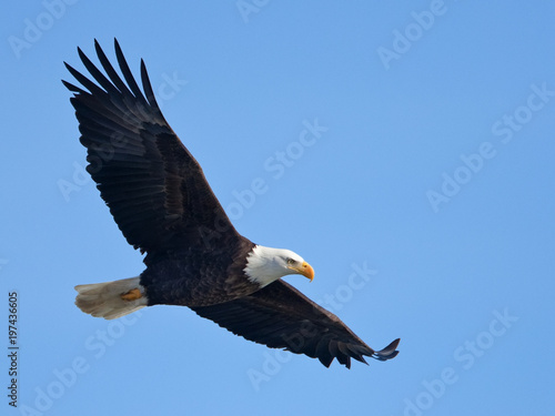 Poster Aigle Bald eagle in flight (clipping path included)