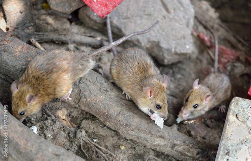 Fotografía Brown Rat (Rattus norvegicus)