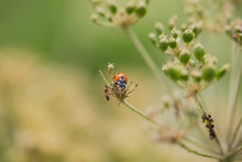 A Little Ladybug On A Plant