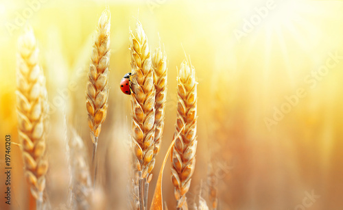 Aluminium Prints Autumn Golden ripe ears of wheat and ladybug on nature in summer field at sunset rays of sunshine, close-up macro with free space. Summer background, template, wallpaper, copy space.