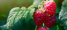 Raspberries On A Branch Close Up.