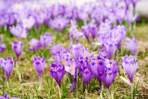 Foto op Plexiglas Krokussen Beautiful violet crocus flowers growing on the dry grass, the first sign of spring. Seasonal easter background.
