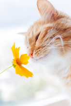 Cute Ginger Cat Smelling A Yellow Flower. Fluffy Pet Frowning With Pleasure. Cozy Spring Morning At Home.