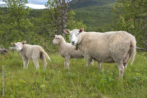 Foto op Canvas Schapen sheep in the mountains of Harstad at Lofoten in Norway