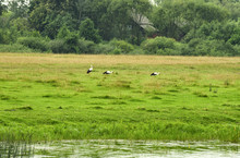 Three White Storks In Search Of Food On A Beautiful Green Meadow In The River Floodplain In Summer
