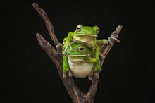 Whitelips Tree Frogs