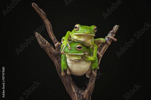 Tuinposter Kikker whitelips tree frogs