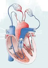 Illustration Of Human Heart Isolated On White Background