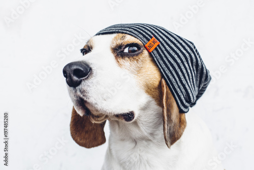 Photo Beagle dog in striped hipster hat looking askance