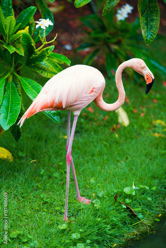 Tuinposter Flamingo The pink Caribbean flamingo goes on water. Pink flamingo goes on a swamp