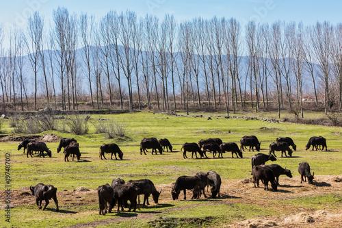 Vászonkép  Buffalo grazing next to the river Strymon in Northern Greece.