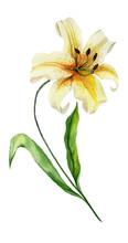 Beautiful Yellow Lily Flower O...