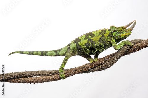 Poster Chamaleon Dreihornchamäleon (Trioceros jacksonii) - Jackson's chameleon