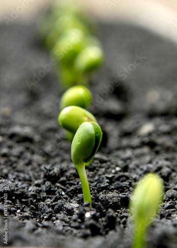 Canvastavla germinação de soja
