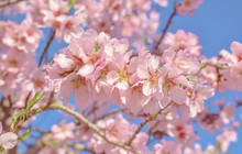 Beautiful Almond Blossom Branch With Blue Sky,welcome Spring