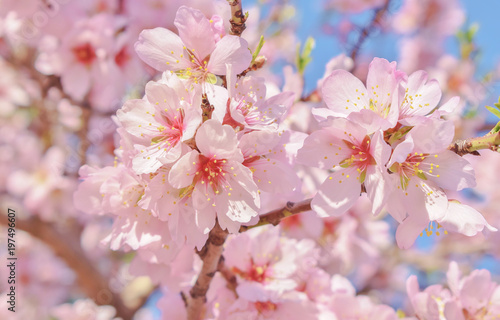 Beautiful almond blossom branch плакат