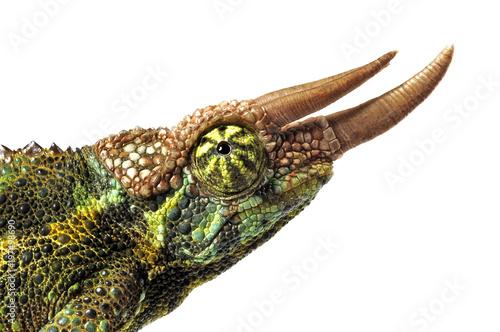 Photo Stands Chameleon Dreihornchamäleon (Trioceros jacksonii) - Jackson's chameleon