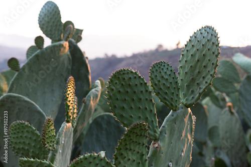 Papiers peints Cactus Cactus, nopal, plant, green, desert