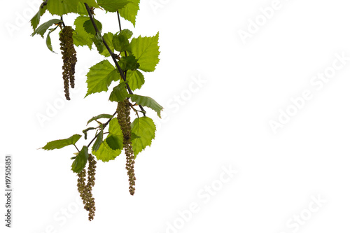 Birch earrings on a white background. Nature