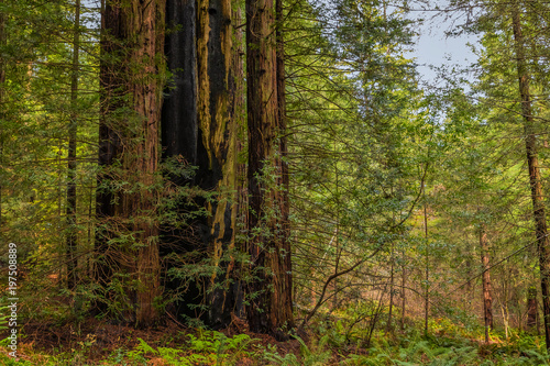 Giant sequoia trees in the Redwoods Forest in California