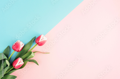 Spoed Foto op Canvas Tulp Pink tulips on minimal background with blue and pink color. Top view, copy space.