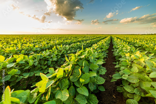 Photo Stands Culture Green ripening soybean field, agricultural landscape