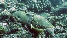 Green Sea Turtle ( Chelonia Mydas ) Swimming Over Coral Reef Of Bali, Indonesia