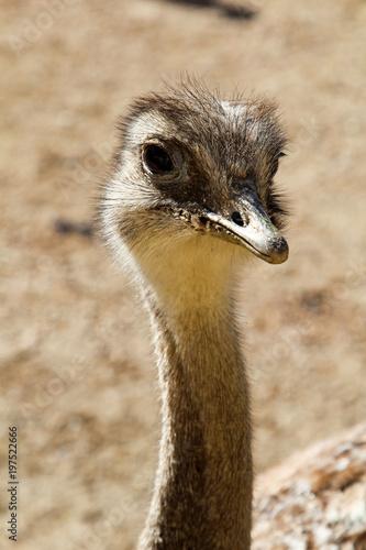 In de dag Struisvogel Portrait eines Strauß, Emu, Nandu