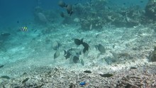 Many Fishes Swimming Over Coral Garden Of Raja Ampat, Indonesia
