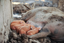 Large Red Pig Of Duroc Breed F...