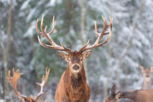 Winter wildlife landscape with noble deers Cervus Elaphus. Deer with large Horns with snow on the foreground and looking at camera. Natural habitat.