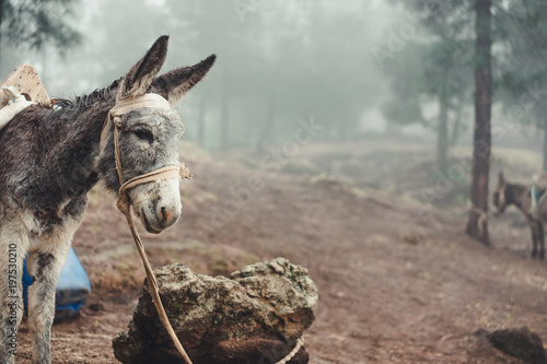 Poster Ezel Donkey standing sideways in the pine forest on early misty morning. Santo Antao Cape Verde