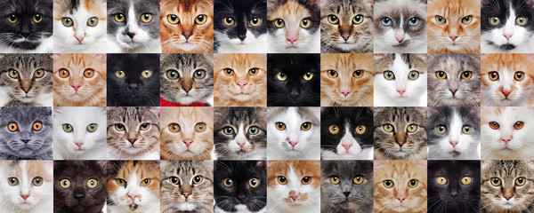 Cats of different breeds in a wide collaje