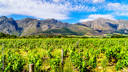 Tuinposter Lime groen Vineyards of the Cape Winelands in the Franschhoek Valley in the Western Cape of South Africa, amidst the surrounding Drakenstein mountains