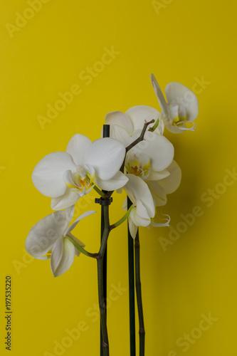 Biały storczyk na żółtym tle - 197535220