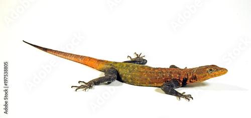 Riesenplattechse (Platysaurus imperator) Imperial Flat Lizard, Emperor Flat Lizard