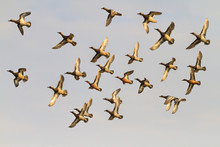 Flock Of Flying Ducks During T...